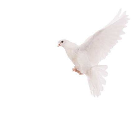 white pigeon: beautiful pigeon