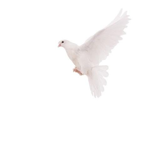 palomas volando: hermosa paloma Foto de archivo