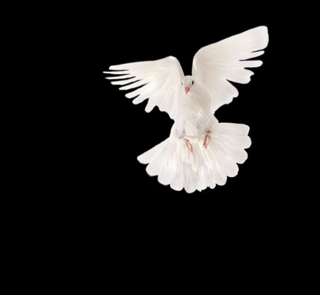 white pigeon flying with speed on black background Stock Photo - 5327510