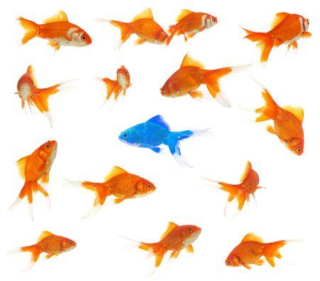 peces de colores: concepto de diversidad con mucha goldfishes y un extraterrestre de Carassius auratus dentro de