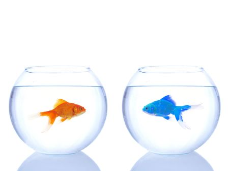 two different goldfishes looking each other, one alien one normal Stock Photo - 6177915