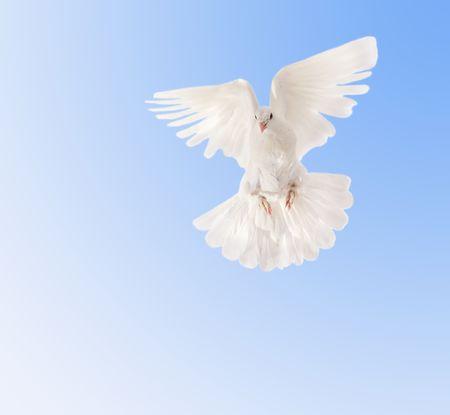 flying pigeon photo