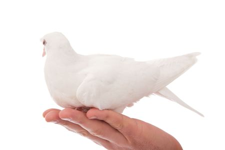 white pigeon: white beautiful pigeon holding still on a hand