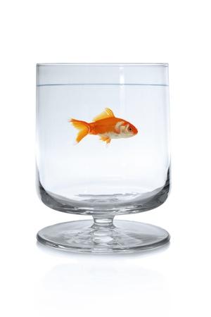 Goldfish swimming in wineglass  Stock Photo