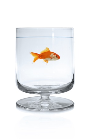 Goldfish swimming in wineglass  Stock Photo - 17264919