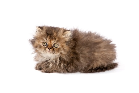 cute persian cat close up on white background Stock Photo