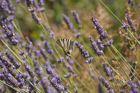 Butterfly lavender photo
