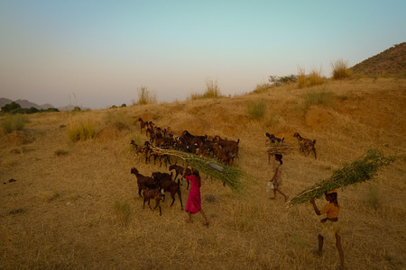 herding: Children herding their goats at the hill near Pushkar town during sunset. Rajasthan, India.