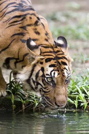 Tiger drinking water photo