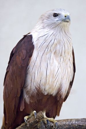 Hawk Close Up Stock Photo - 538505