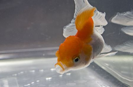aquaria: Goldfish Close up Stock Photo