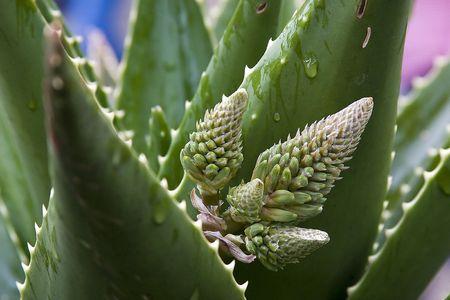 aloe flower: Aloe flower close up. Stock Photo