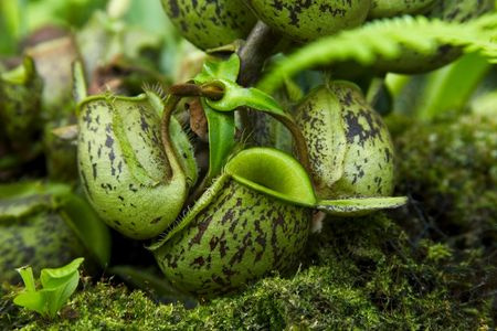 Nepenthes plant. photo
