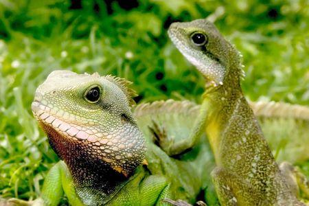 small reptiles: Lucertola due sulla terra.