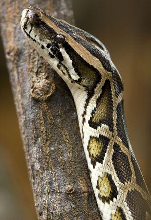 lingua: Python close up.