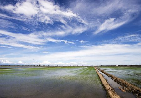 starchy food: Paddy field in Sekinchan, Malaysia. Stock Photo