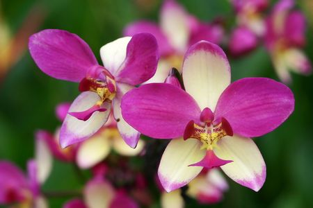 Purple White Stripe Orchid Close up
