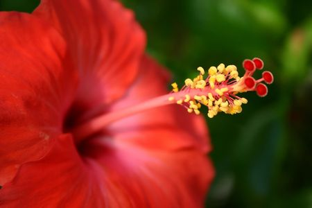 Red hibiscus close up. Stock Photo