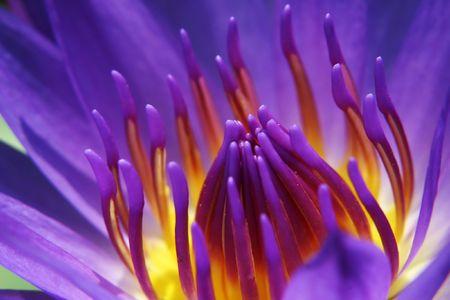 lilypad: Purple waterlily. Stock Photo