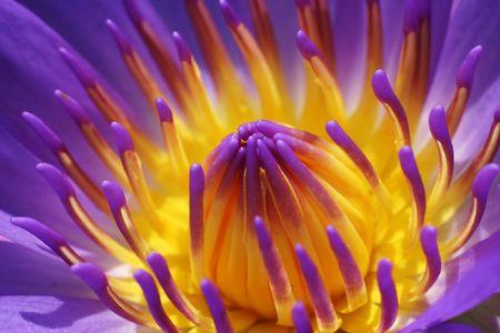 Purple waterlily close up photo