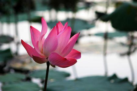 lilypad: Pink waterlily close up Stock Photo