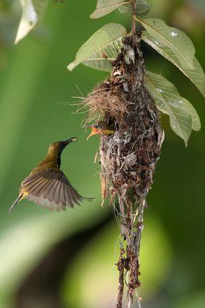 Olive-backed Sunbird feeding  bird. 스톡 콘텐츠