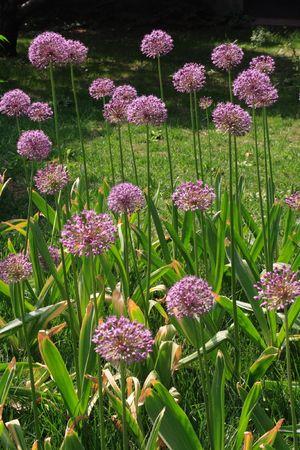 Allium flowers close up photo