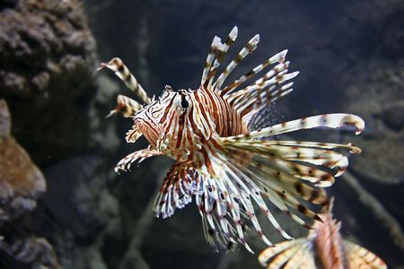 Lion Fish Close up