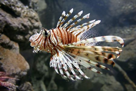 Lion Fish Close up photo