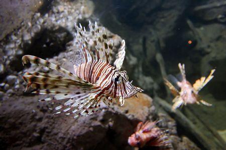 Lion Fish Close up Stock Photo - 599458