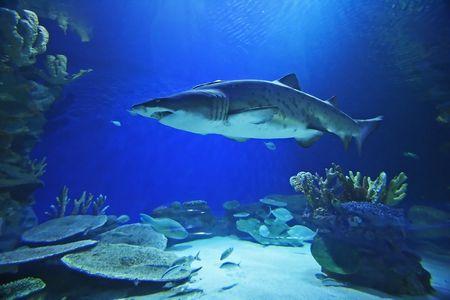Sand Tiger Shark photo
