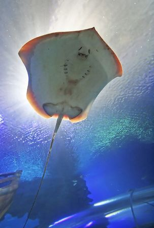 Stingray fish silhouette photo