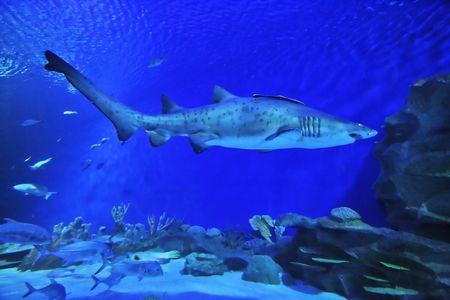 gills: Sand Tiger Shark