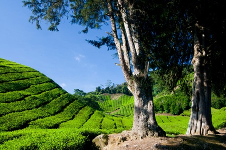 Plantación de té en el altiplano de cameron en Malasia.