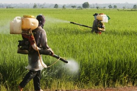 farmers working at paddy field in Sekinchan, Malaysia. Stock Photo