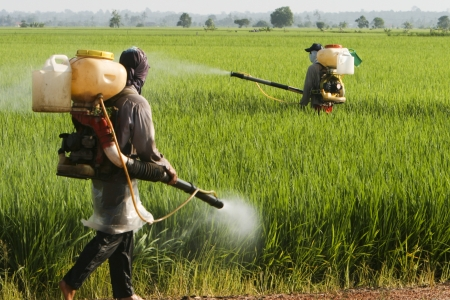 Sekinchan、マレーシアの水田で働く農夫。