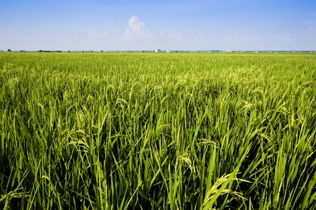 Paddy field close up in asia country. photo
