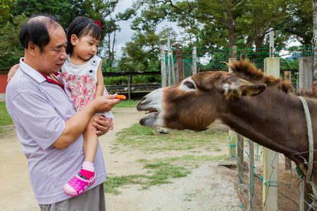 animales del zoologico: Asian Little Chinese Girl and her grandfather Feeding Donkey with Carrot in the Farm