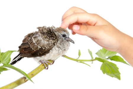 Human Hand Petting a Small Cuckoo isolated on White Background Stock Photo