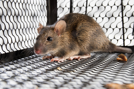 A mouse in the Cage in isolated White Background Stockfoto