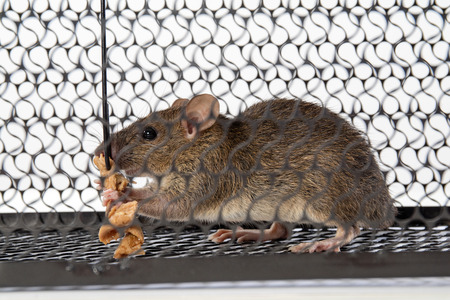 entrapment: A mouse in the Cage in isolated White Background Stock Photo