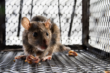 A mouse in the Cage in isolated White Background Stock Photo