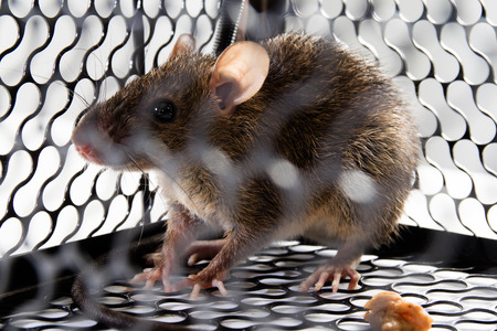 disgusting: A mouse in the Cage in isolated White Background Stock Photo