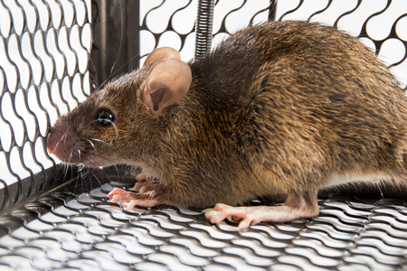 lockup: A mouse in the Cage in isolated White Background Stock Photo
