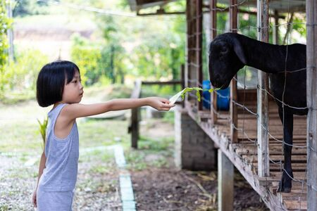Asian Little Chinese Girl Feeding goat in the Outdoor Farm