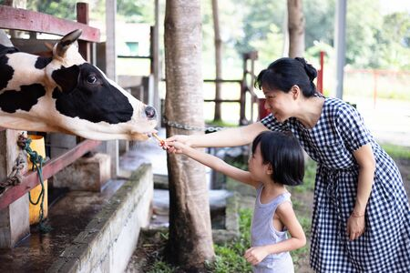 Asian Little Chinese Girl and mother feeding a cow with Carrot in the Outdoor Farm 스톡 콘텐츠
