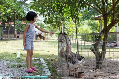 Asian Little Chinese Girl Feeding goose in the Outdoor Farm