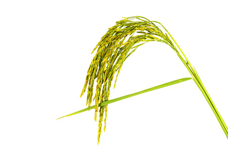 Rice in  white  background  photo