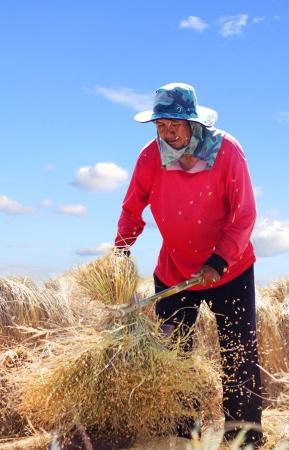 thresh: The traditional way of threshing grain in thailand,The traditional way of threshing
