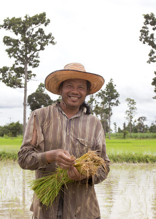 cereals holding hands: Farmer holding rice in paddy fields